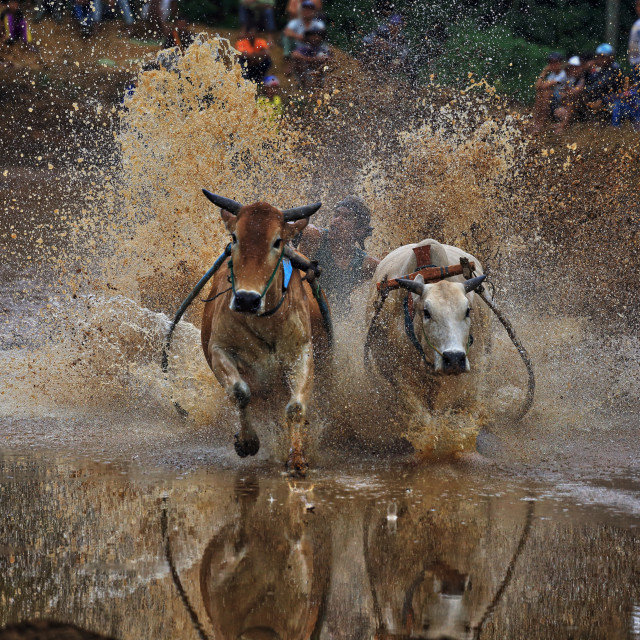 """""""Bull race also known as PAcu Jawi in progress"""" stock image"""