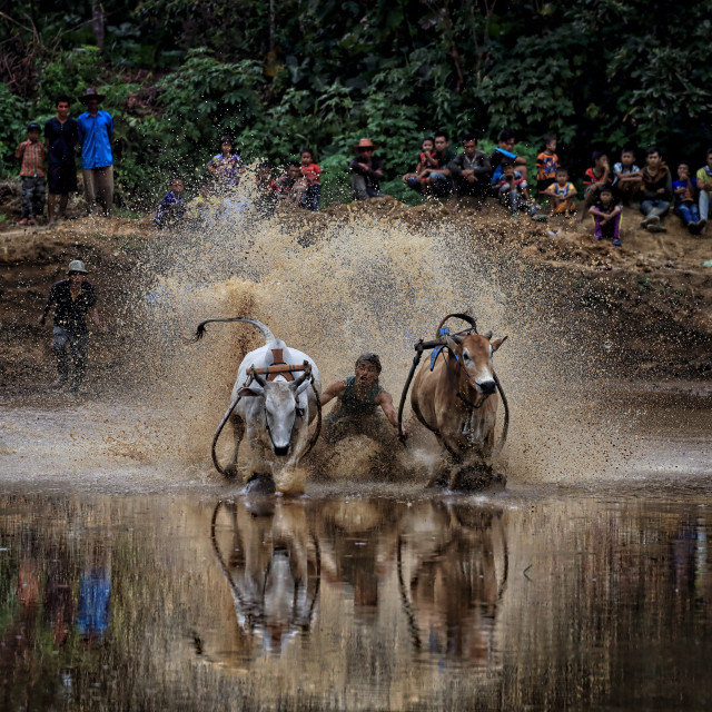 """Bull race also known as PAcu Jawi in progress"" stock image"