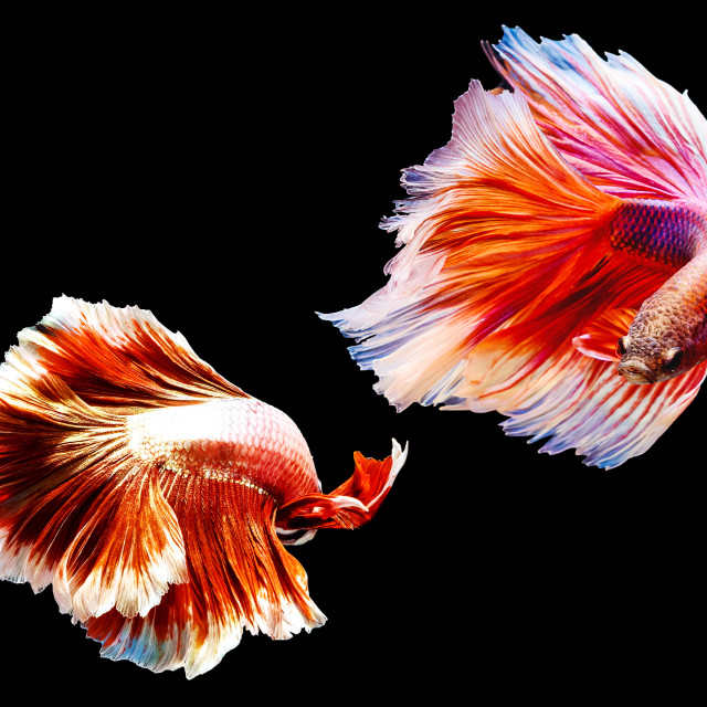 """Two thai fighting fish battle"" stock image"