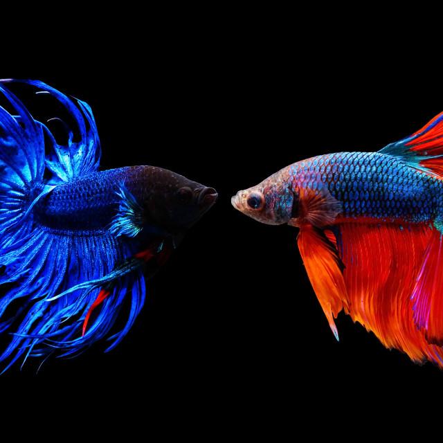 """""""Thai siamese betta fighting fish"""" stock image"""