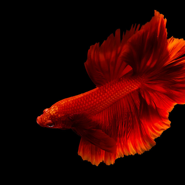 """""""Red fighting fish isolated on black"""" stock image"""