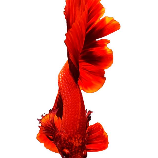 """""""Red Thai Betta siamese fighting fish"""" stock image"""