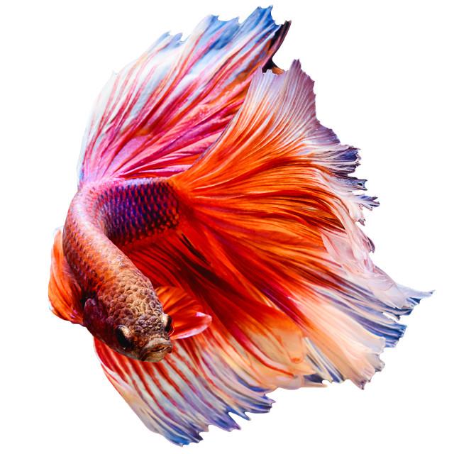 """siamese fighting fish Half moon"" stock image"
