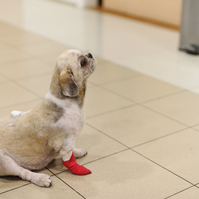 """Shih Tzu dog with bandage in hospital"" stock image"
