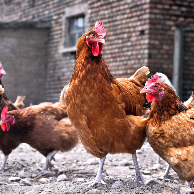 """""""Chickens on traditional free range poultry farm"""" stock image"""