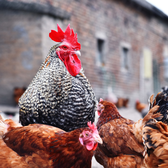 """Chickens on traditional free range poultry farm"" stock image"