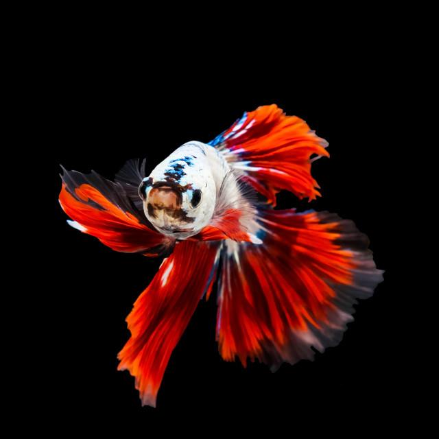 """Thai betta fishing fish"" stock image"