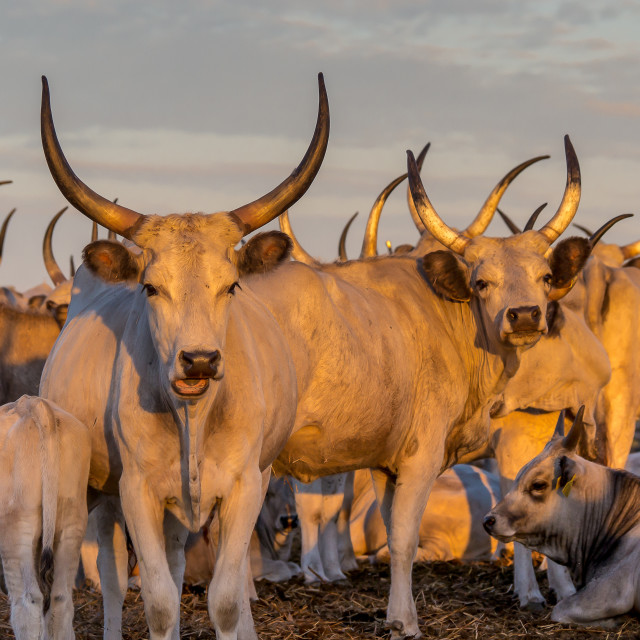 """Hungarian Grey Cattle"" stock image"