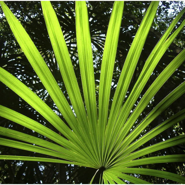 """Palm leaf, Belize, Central America"" stock image"