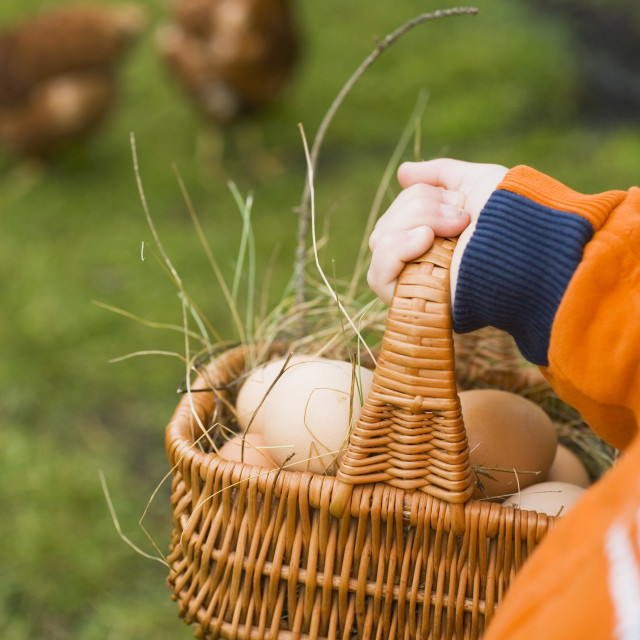 """""""Child's hands with basket of eggs, free-range hens in field"""" stock image"""