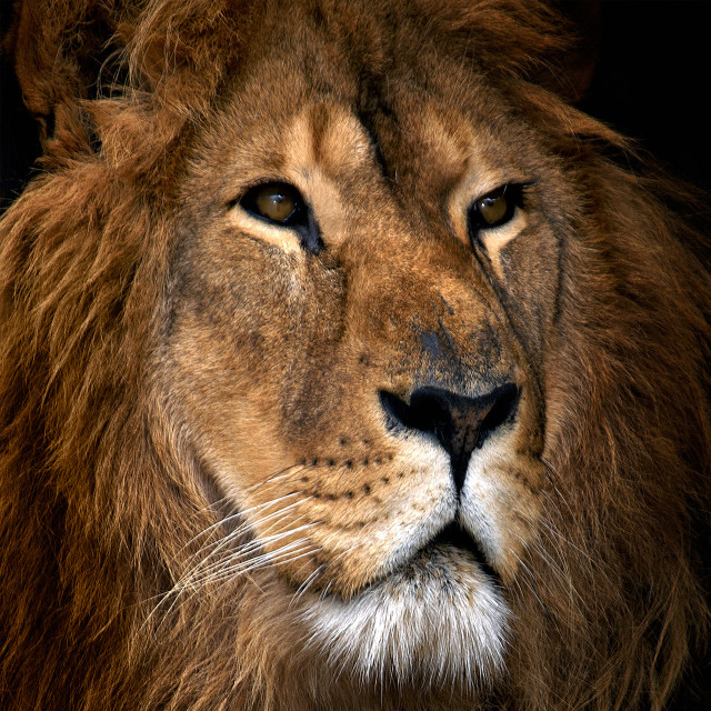 """Lion 21"" stock image"
