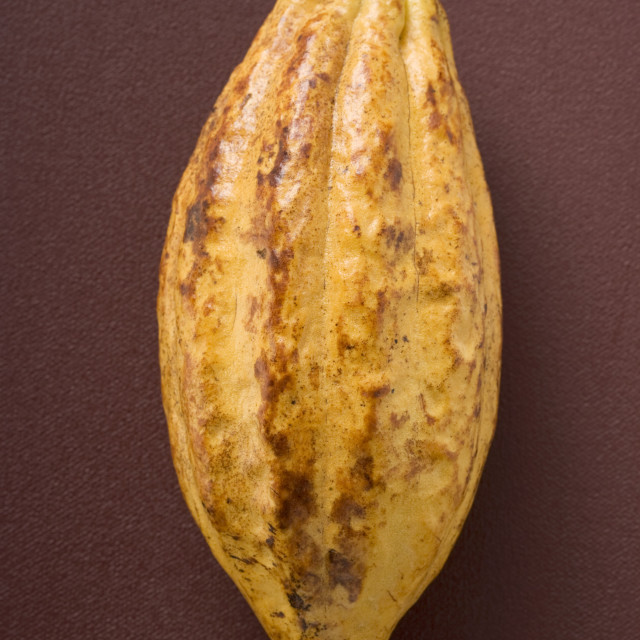 """Cacao fruit on brown background"" stock image"