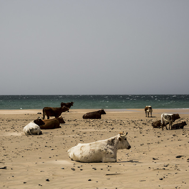 """Cows resting at beach"" stock image"