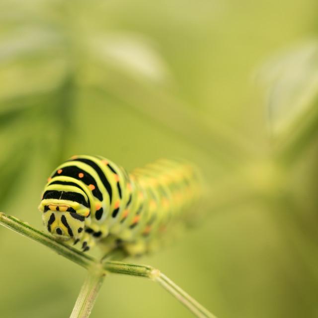 """""""Swallowtail Caterpillar"""" stock image"""