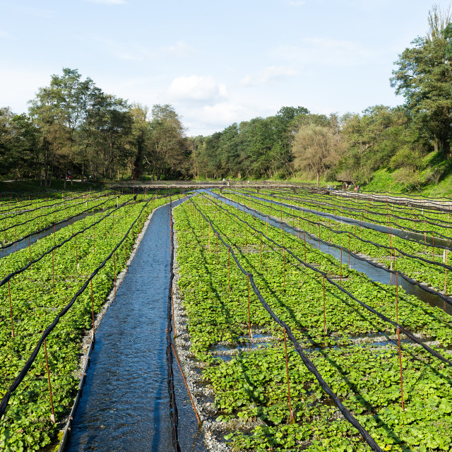 """Green Wasabi farm"" stock image"