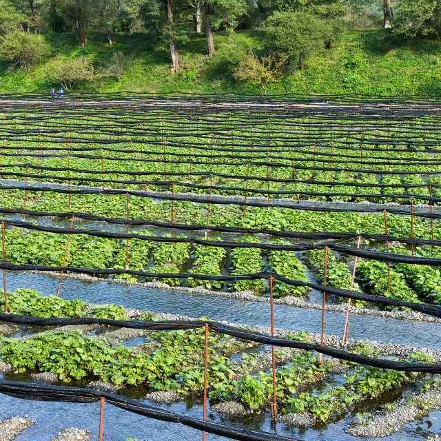 """Fresh Wasabi farm"" stock image"