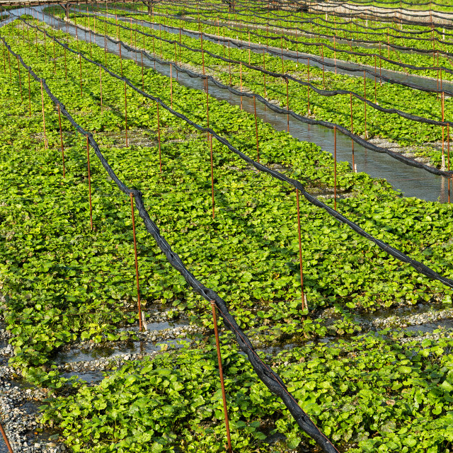 """Wasabi farm"" stock image"