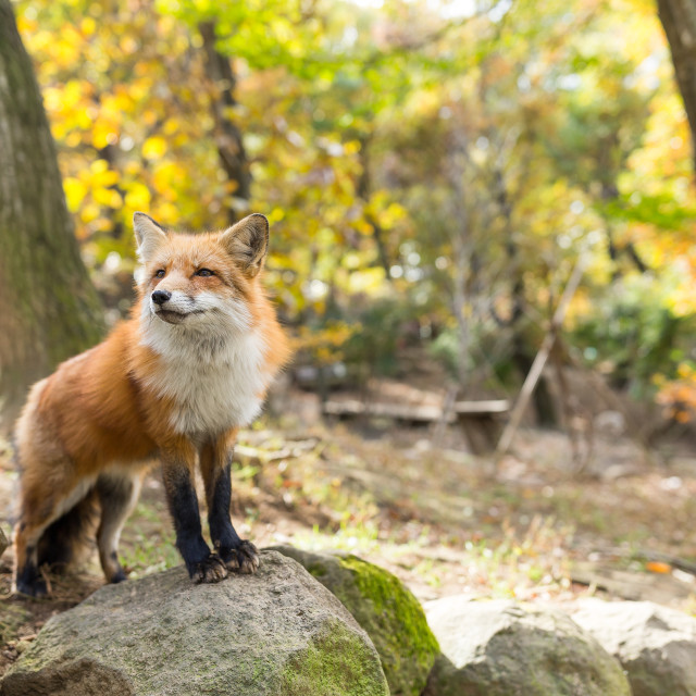 """little fox"" stock image"