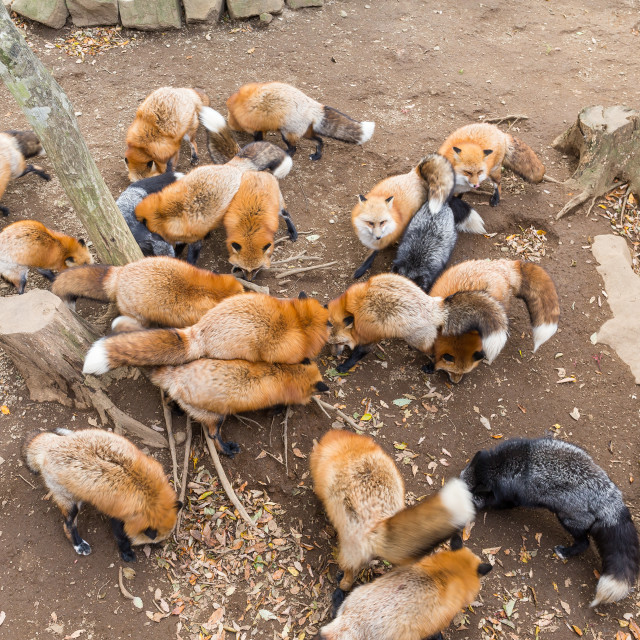"""""""Many fox eating together"""" stock image"""