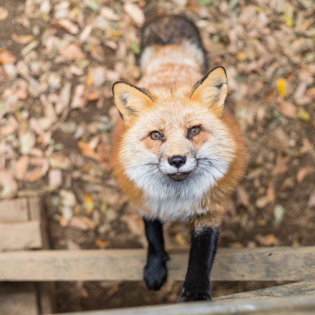 """""""Fox waiting for food"""" stock image"""
