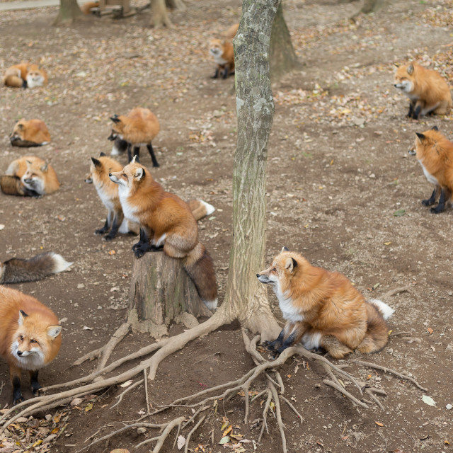 """""""Group of red fox"""" stock image"""