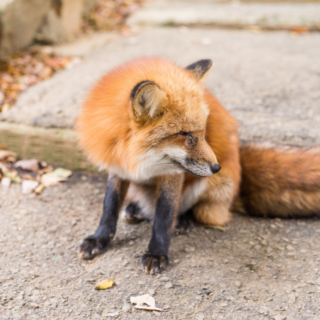 """""""Fox at outdoor"""" stock image"""