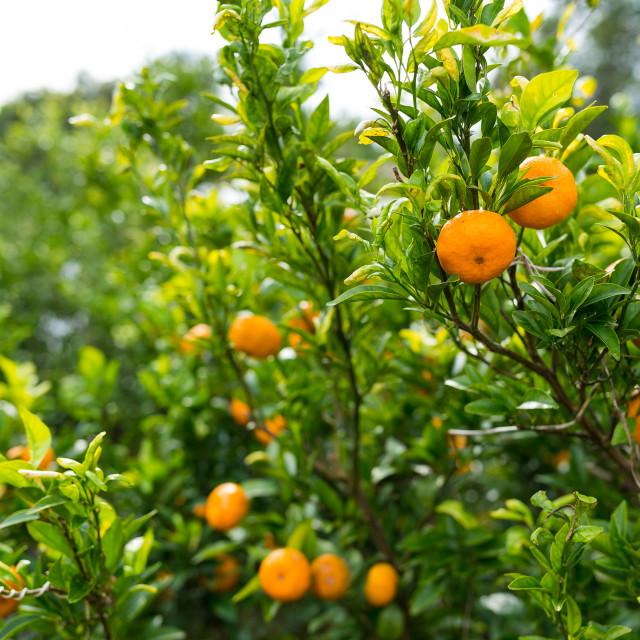 """Persimmon tree"" stock image"