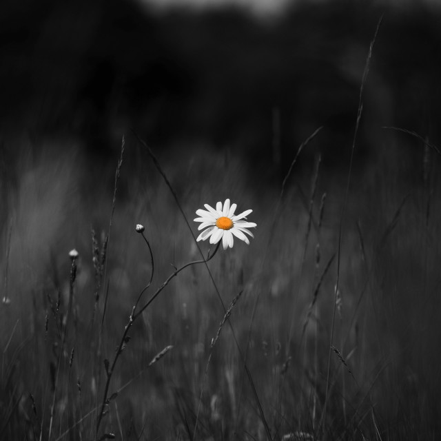 """""""The lonely daisy"""" stock image"""