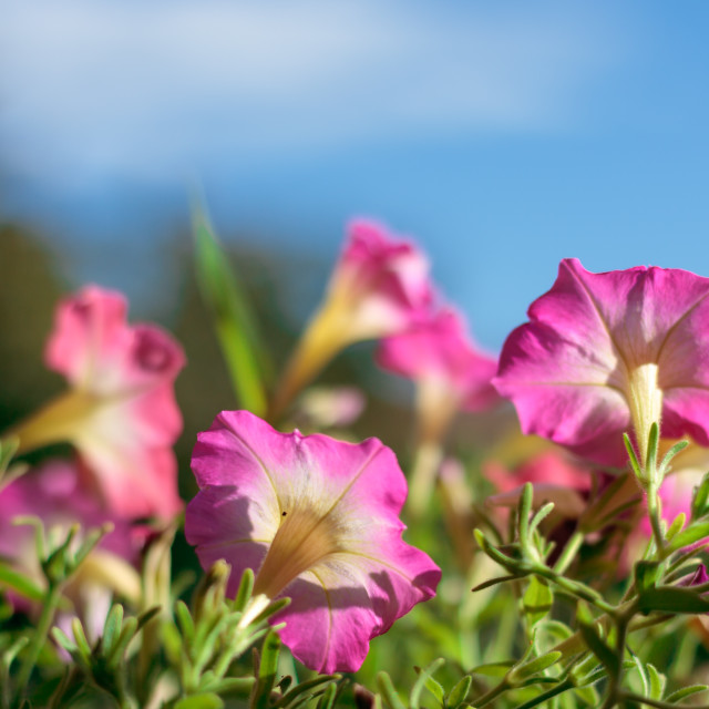 """Closeup on pink petunias in pot"" stock image"