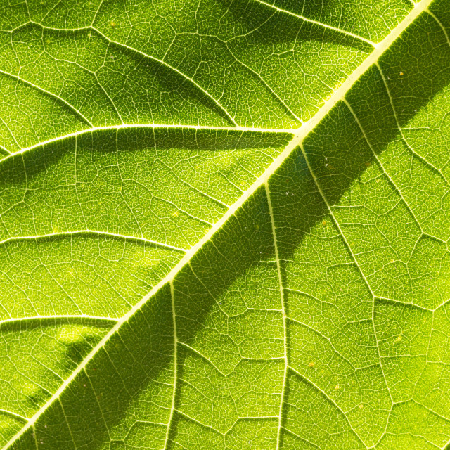 """Close up on sunflower structure leaf texture"" stock image"