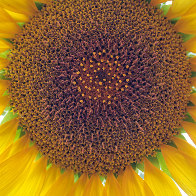 """Closeup on sunflower disc florets"" stock image"