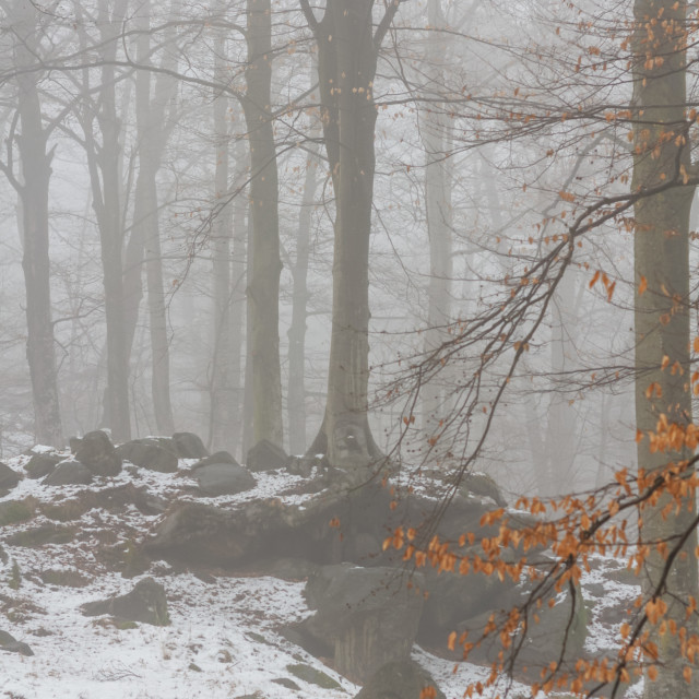"""Winter beech forest"" stock image"