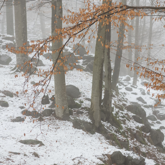 """Beech winter forest"" stock image"