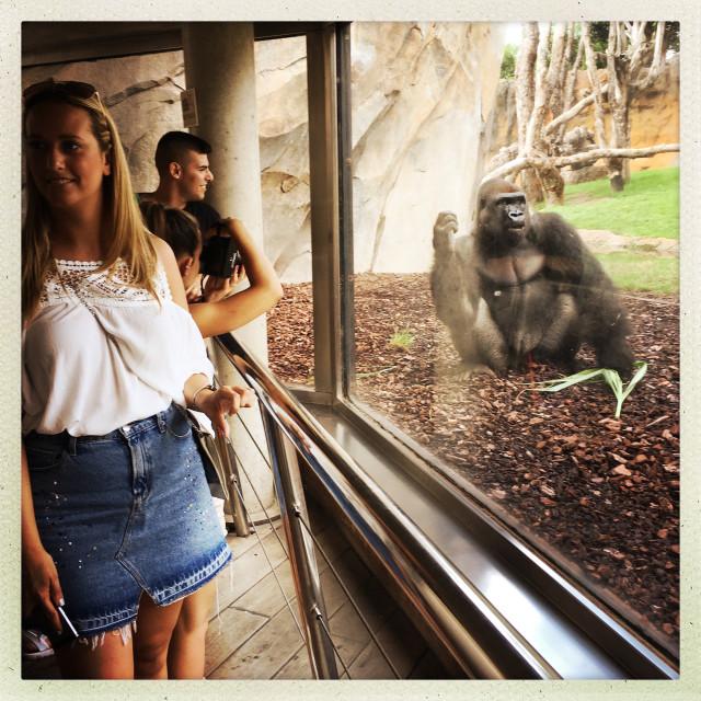 """Gorilla behind Glass"" stock image"