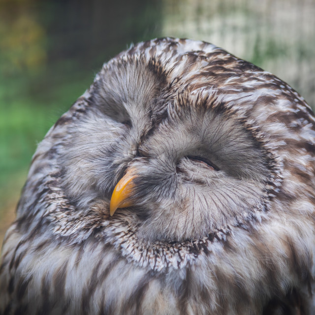 """Sleeping owl"" stock image"