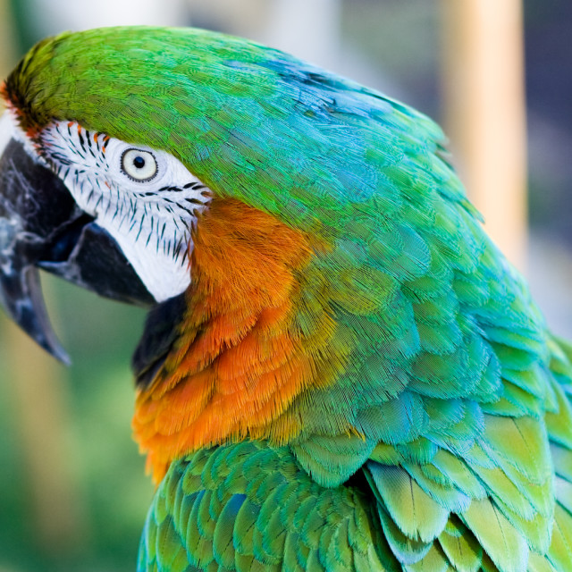 """""""Parrot"""" stock image"""