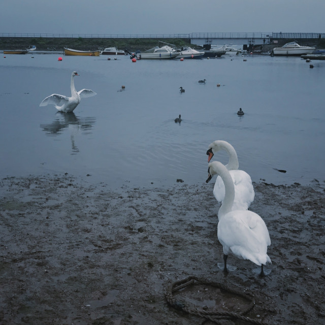"""Dawlish swans waiting for the tide to come in..."" stock image"