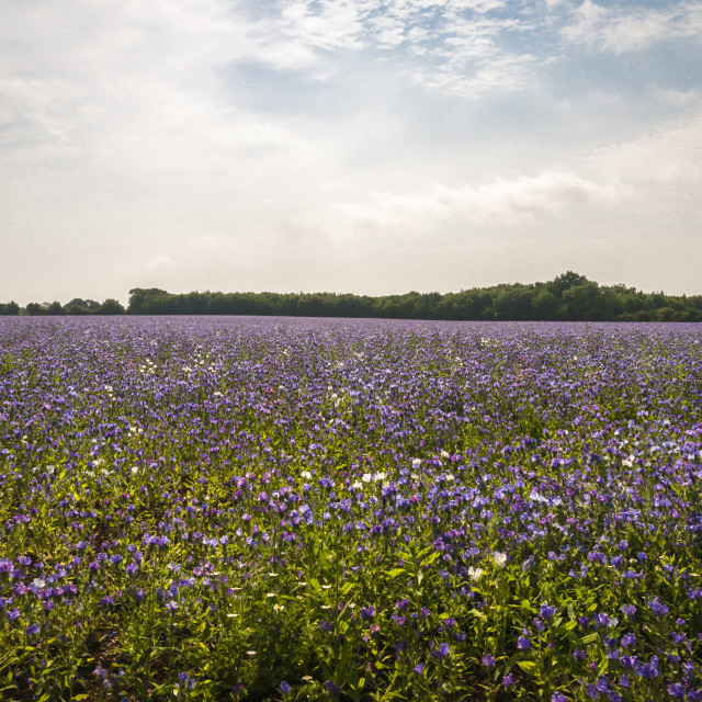 """""""Vipers Bugloss crop"""" stock image"""