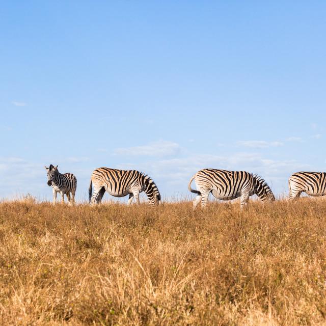 """""""Zebras Pregnant Wildlife"""" stock image"""