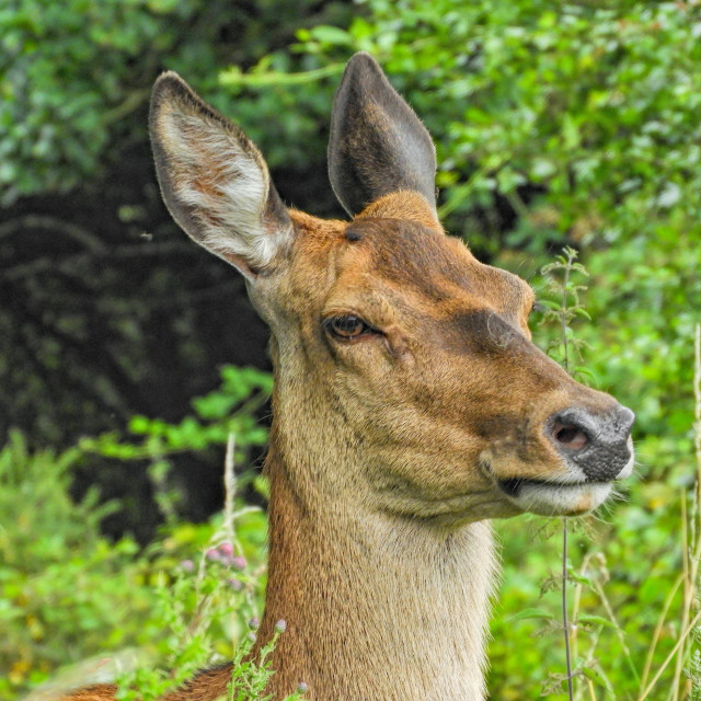 """Portrait of a Red Deer"" stock image"