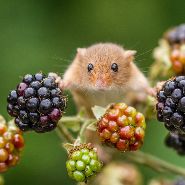 """These berries are mine!"" stock image"