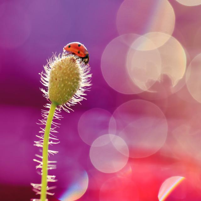 """Small cute Ladybug on pitch poppy."" stock image"