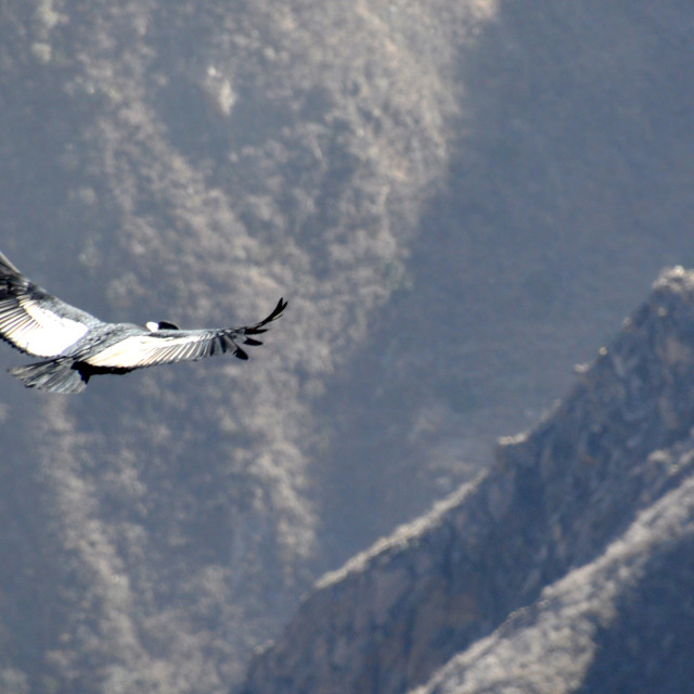 """Flight of the Condor #2"" stock image"