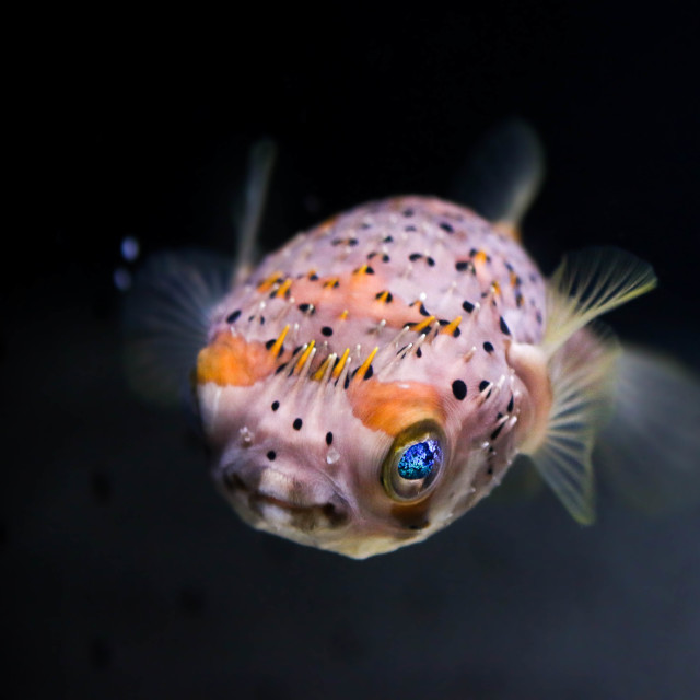 """Porcupine Fish"" stock image"