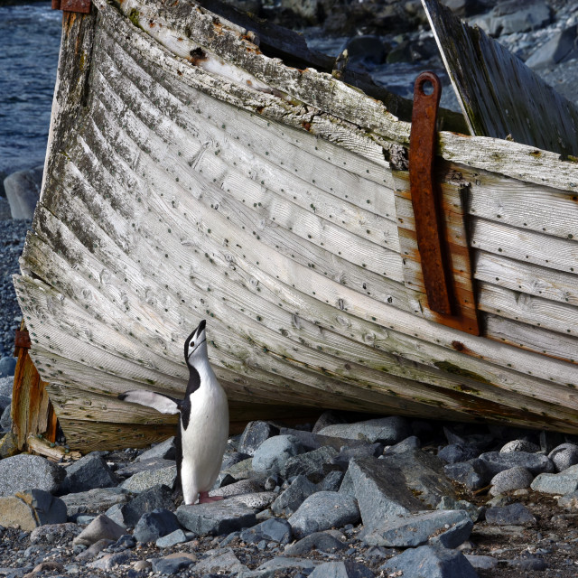 """Chinstrap penguin by abandoned boat on Deception Island, Antarctica"" stock image"