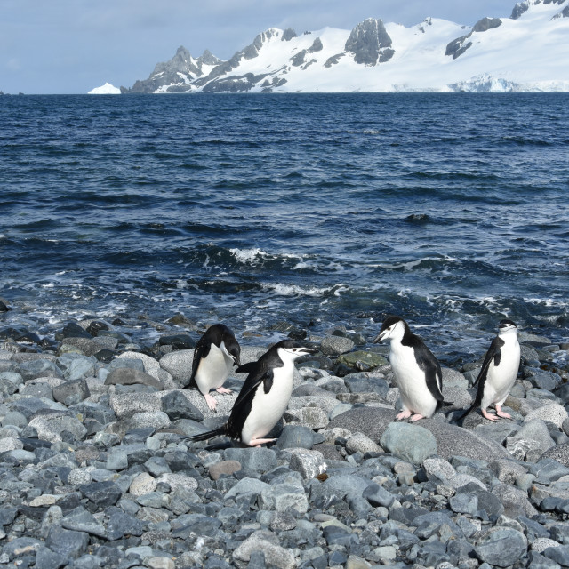 """Penguins on Deception Island, Antarctica"" stock image"
