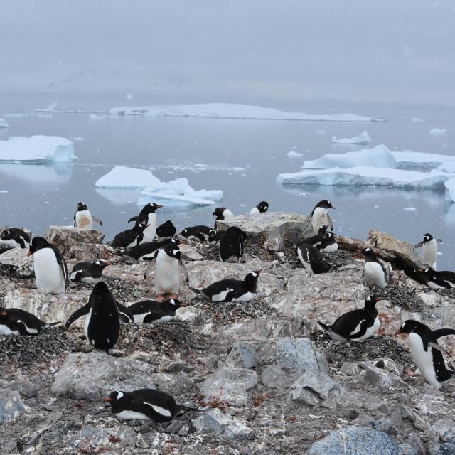 """""""Gentoo penguin colony in Antarctica"""" stock image"""