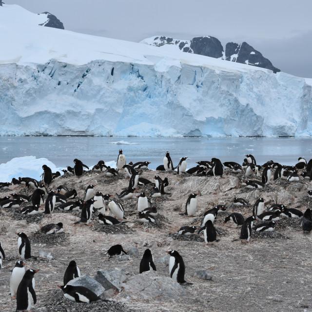 """Views of Gentoo Penguin Colony in Antarctica"" stock image"