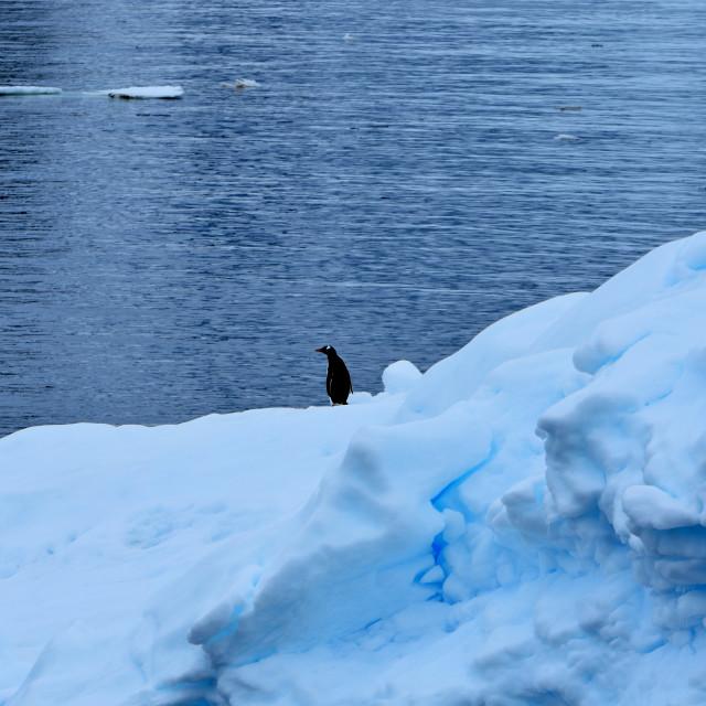 """""""Lone chinstrap penguin on iceberg"""" stock image"""