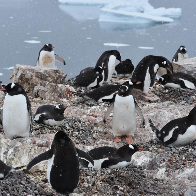 """""""Gentoo penguin colony"""" stock image"""